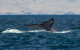 Marine scientists, Environmentalists and Lovers of the Sea are Ecstatic about the Return of the California Blue Whale