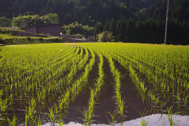 Fooded rice field